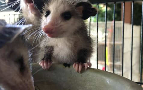 How much do you know about opossums?