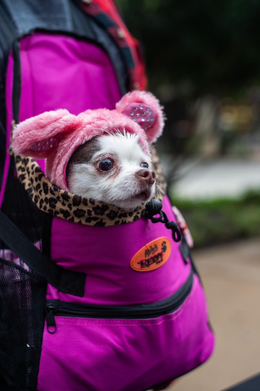 Abby%2C+a+chihuahua+stays+warm+in+a+backpack+while+dressed+as+a+pink+bear.++%22%5BIt%27s%5D+too+cold+to+be+outside+for+her%2C%22+her+owner+said.
