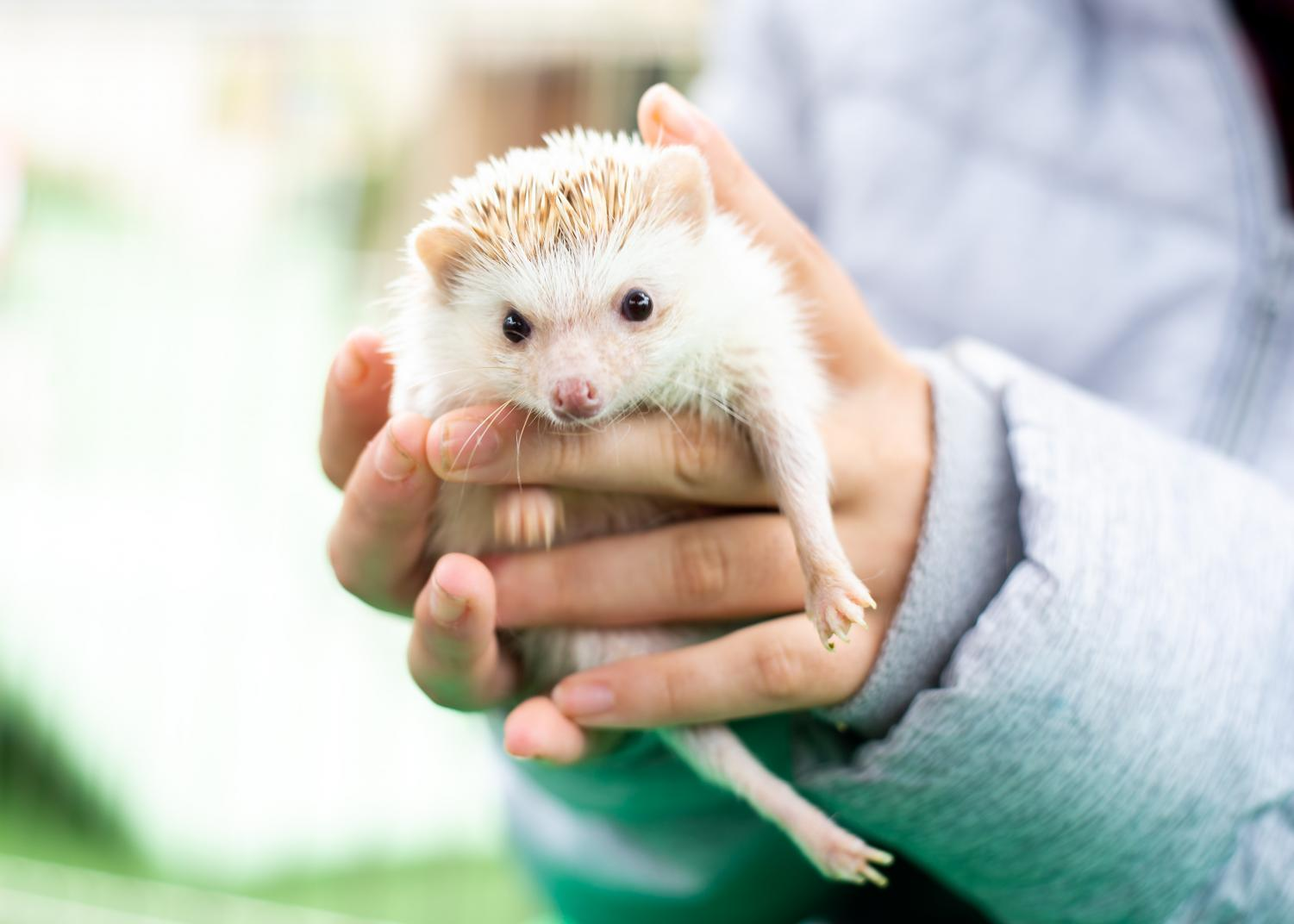 A+pet+zoo+worker+holds+Cactus+Jack%2C+a+nine-month-old+hedgehog.+%22He+isn%27t+as+prickly+as+you+think%2C%22+the+worker+said.
