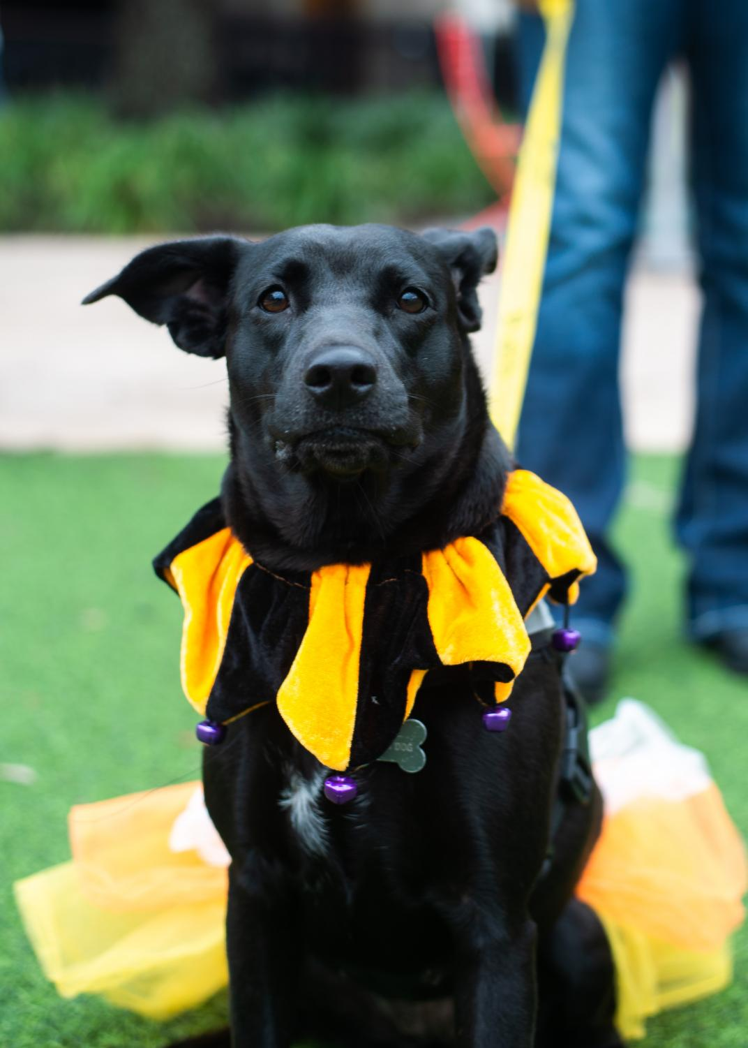 Liala%2C+a+one-year-old+mutt%2C+dons+an+orange+and+black+jester+costume.+%22She+is+up+for+adoption+and+a+great+dog+for+an+active+family%2C%22+a+worker+said.+