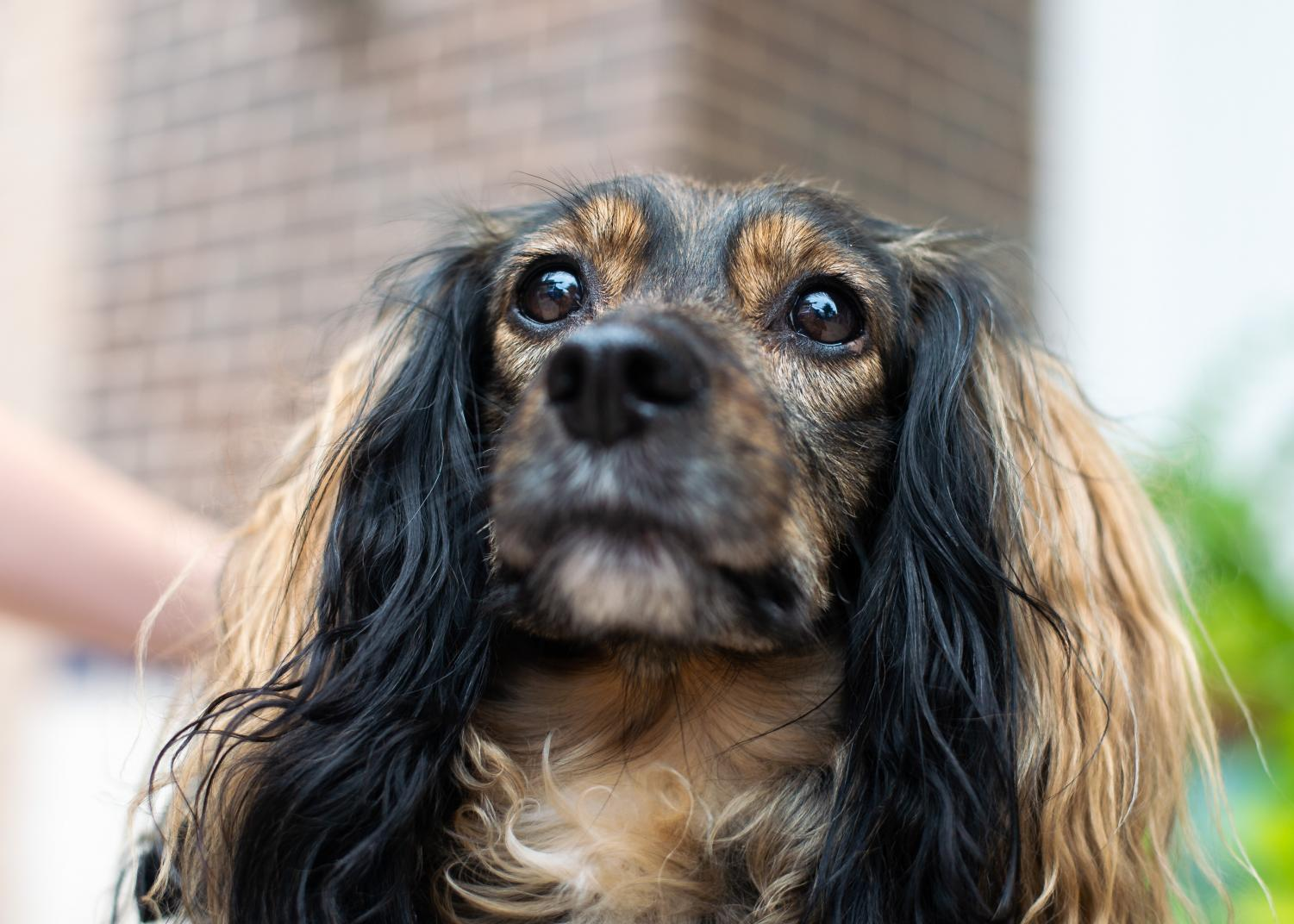 Five-year-old+dachshund%2Fspaniel+Freddy+poses.+%22He+has+his+own+Instagram%2C+I+was+posting+too+many+photos+of+him+on+my+account%2C%22+his+owner+said.+