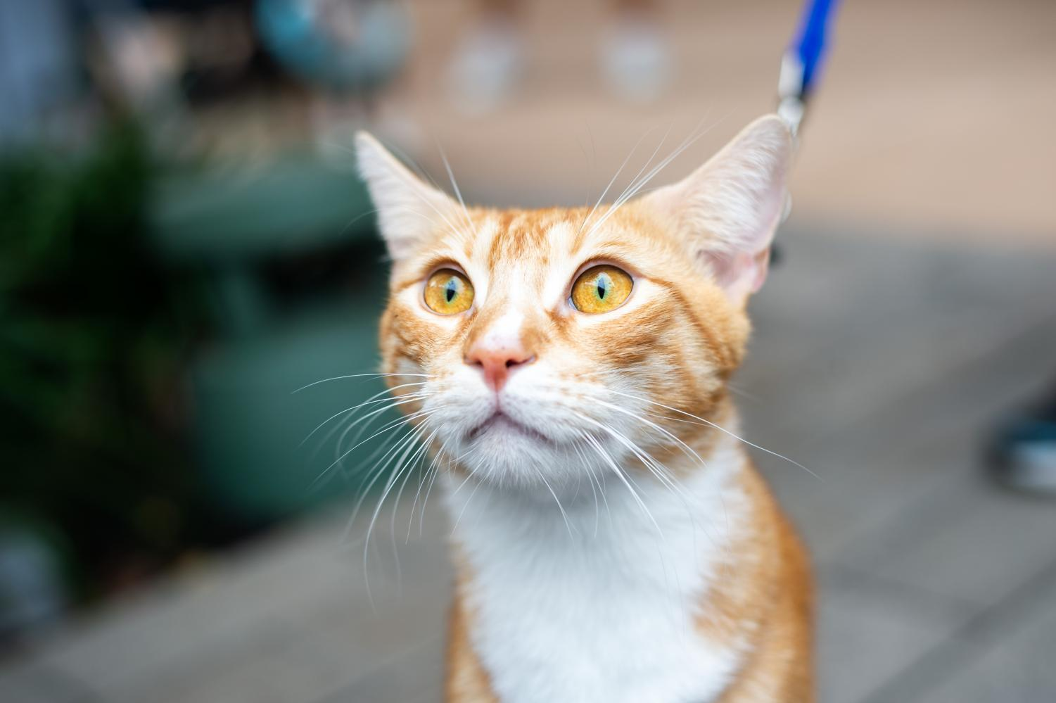 Calvin%2C+a+one-year-old+domestic+shorthair%2C+shows+off+his+unique+eyes.+%22He+loves+walking+on+a+leash%2C+and+he+isn%27t+bothered+by+dogs+unless+they+come+too+close+to+him%2C%22+his+owner+said.