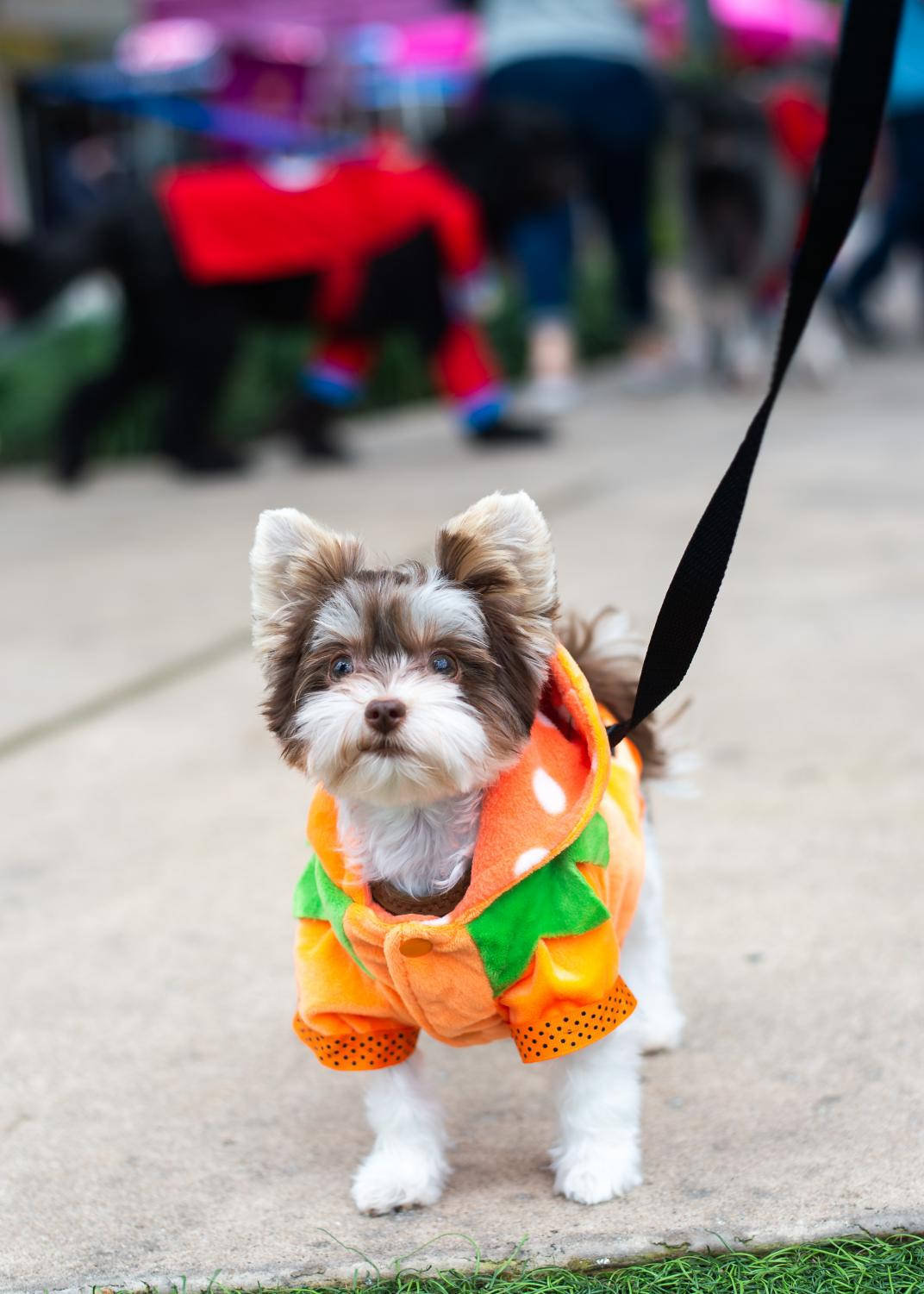 A+10-month-old+yorkshire+terrier+dresses+up+as+a+pumpkin.+%22She+and+her+brother+are+German+yorkies%2C+%5Bwhich+are%5D+even+smaller+than+normal+ones%2C%22+their+owner+said.