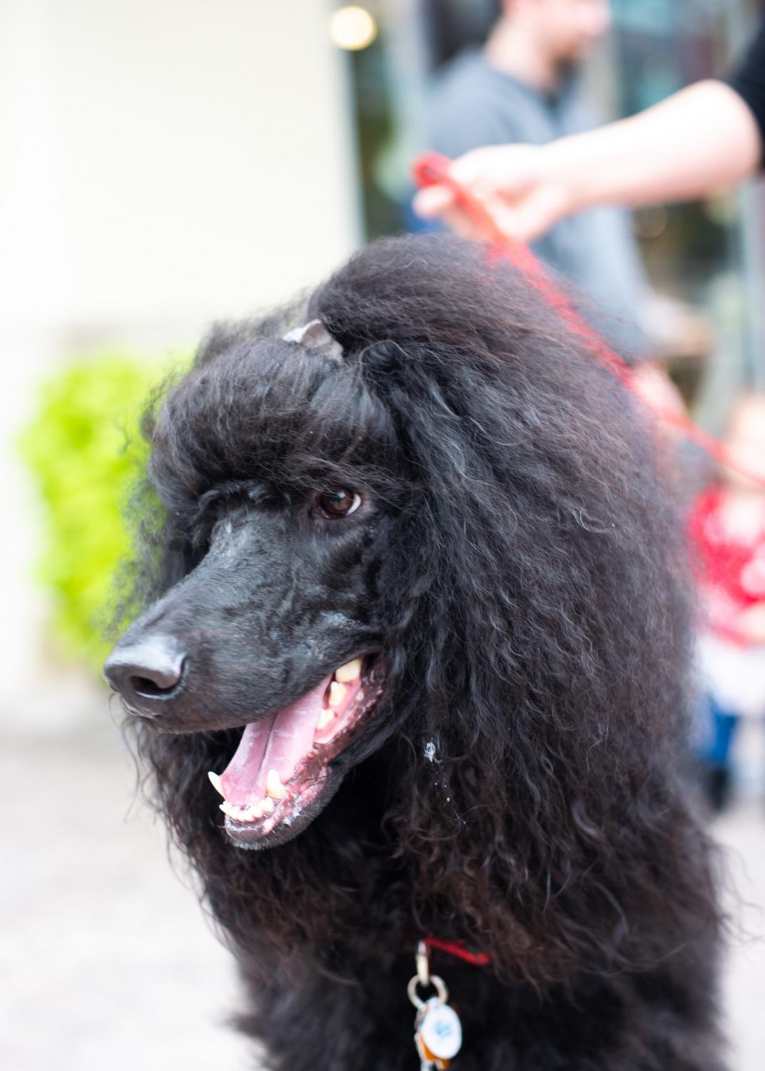 Dexter%2C+a+three-year-old+standard+poodle%2C+displays+his+locks.+%22He+is+part+of+the+Poodle+Parade+at+Pet-Tober-Fest%2C%22+his+owner+said.
