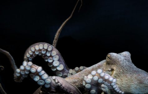 How much do you know about octopi?