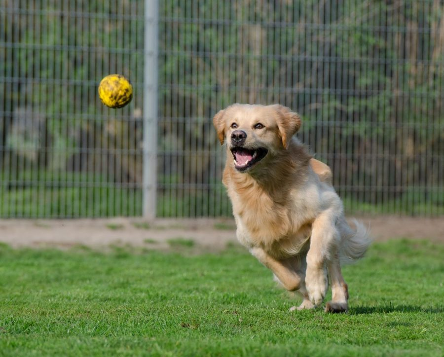 A golden retriever in an animal shelter chases after a ball.