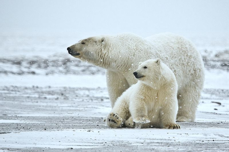 How Much Do You Know About Polar Bears